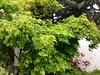 image (amt40) Tags: garden japanesemaple acer deciduous shrubs palmatum arcejaponés