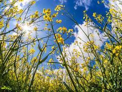 Rapsfeld (Panasonikon) Tags: panasonikon lumixdmcg6 raps wolken himmel feld acker gegenlicht sonne sun weitwinkel walimex75 fisheye