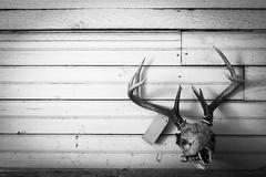 Deer mount (Travis Photo Works) Tags: white male animal wall season point mammal skull stag background wildlife hunting decoration deer antlers mount rack trophy buck mule hunt whitetail antler odocoileus deerrack skullmount