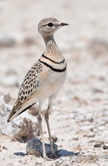 Double-banded Courser (anacm.silva) Tags: africa wild naturaleza bird nature birds wildlife natureza ngc aves ave namibia frica etoshanationalpark doublebandedcourser rhinoptilusafricanus smutsornisafricanus nambia