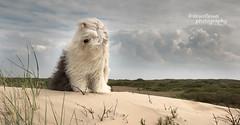 vitamine sea (dewollewei) Tags: dog beach dogs wadden dunes ameland bobtail oes oldenglishsheepdog waddeneilanden oldenglishsheepdogs dewollewei sophieandsarah sophieensarah