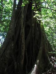 "Santa Elena: un ficus <a style=""margin-left:10px; font-size:0.8em;"" href=""http://www.flickr.com/photos/127723101@N04/26722923620/"" target=""_blank"">@flickr</a>"