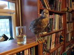 Miss Hazel Handkerchief with a glass of wine on a bookshelf (benchilada) Tags: chickens chicken glass with wine bookshelf hazel handkerchief miss chickum chickums