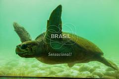 SE_Ubatuba0305 (Visit Brasil) Tags: horizontal brasil fauna ubatuba sopaulo natureza cultura detalhe externa sudeste semgente projetotamar subaqutica diurna brasil|sudeste brasil|sudeste|sopaulo brasil|sudeste|sopaulo|ubatuba brasil|sudeste|sopaulo|ubatuba|projetotamar