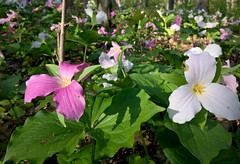 Trillium carpet (danbruell) Tags: morning flowers flower nature forest garden trillium spring pretty purple annarbor seeds bloom perennial washtenaw countyfarmpark