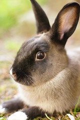 Toki (Tjflex2) Tags: boy pets canada cute rabbit bunny bunnies nature girl vancouver mammal furry pretty bc friendship fuzzy conejo small adorable cuddly coelho playful lapin usagi krolik kanin lagomorph toki lepus fenek iepure muyal kelinci ilconiglio coinin sungura leporidea
