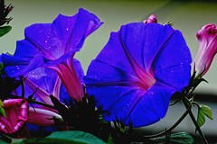 Colours (Rajavelu1) Tags: flowers blue plant art garden creative indigo artland macrophotograph canon60d