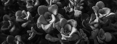 Stoned Flowers (Uup115) Tags: perennial stonecrop sedumspathulifolium perenna kivikkokasvi lumia920