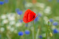 Vive la France, vive le football ! (Karsten Gieselmann) Tags: blue red white flower color green rot blossom blumen olympus grn blau farbe blten mohn weis m43 mft microfourthirds mzuiko 75mmf18 em5markii kgiesel