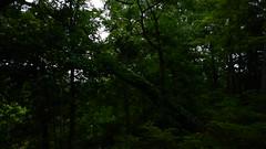 DSCN1405 (VerlynC) Tags: tree falling hickory