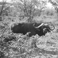 kruger_holga_bw_0008 (willow dower) Tags: africa blackandwhite film monochrome analog southafrica holga 120film krugernationalpark waterbuffalo krugerpark bigfive big5