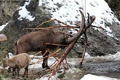 IMG_8429 (u.wittwer) Tags: park zoo schweiz switzerland tiere suisse tierpark heimat arth naturpark goldau widi