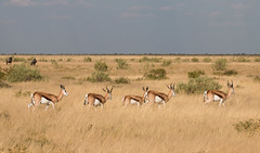 Springbok at Etosha (Randy K2) Tags: park national namibia etosha springbok