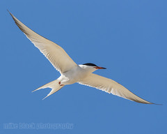 Tern in Flight Canon EOS-1D X Mark II (Mike Black photography) Tags: ocean new red 2 sky usa white black bird beach mike nature canon lens is big wings body mark year birding nj atlantic ii shore jersey l usm 100400mm mk 1dx