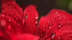 pluie rouge (christophe.laigle) Tags: red flower macro fleur rouge drops fuji pluie gouttes granium xpro2