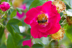 R&B (Andrea_Naselli) Tags: flowers flower macro garden insect munich bee botanicalgarden botanischergarten tamron70300 giardinobotanico tamronlens