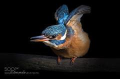 Flex...... (tycampbe) Tags: blue light wild sun fish tree bird water beautiful beauty animal fishing model branch wildlife kingfisher 500px ifttt
