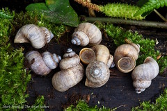 Land Winkles - Pomatias elegans. Snails of Belmont Banks. The Land Winkle  is the only terestrial snail with a protective operculum and is in fact a landbound gastropod mollusc and an endangered species. (favmark1) Tags: kent belmont snails faversham pomatiaselegans belmontbanks landwinkle