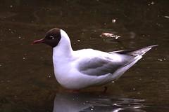 Black Headed Gull (georgehart64) Tags: black water scotland pond aberdeenshire gull aberdeen headed blackheadedgull johnstongardens canon70d