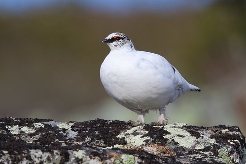 Rock ptarmigan (male)