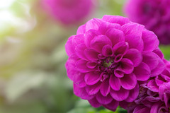 Dahlia (Just_hobby) Tags: dahlia flower nature flora purple outdoor sel50f18 sonya6000