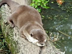 otter (daisywilks) Tags: cute nature log sleep wildlife free tired otter snooze