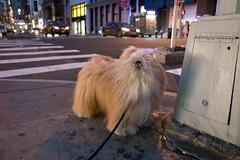 soho, manhattan (Charley Lhasa) Tags: street nyc newyorkcity dog ny newyork night evening raw pattern walk manhattan soho noflash sidewalk fujifilm cropped charley x70 lightroom 4stars lhasaapso aperturepriority 185mm adobelightroom 0ev charleylhasa iso5000 secatf28 unflagged fujifilmx70 adobelightroomcc20156 lightroomcc20156 uploaded160629111728 dsf2003 taken160625205725 tumblr160629 httpstmblrcozpjiby28chw9v