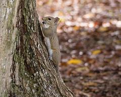 Squirrel (yoelisd2003) Tags: naturaleza nature squirrel outdoor mammals rodents ardilla sciuridae omnivore