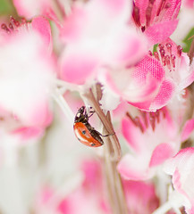 Ladybug in pink (mer nl) Tags: red wild macro nature bug garden insect close outdoor luck ladybug romantic p nk mernl