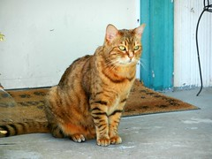 A Cat named Bob (knightbefore_99) Tags: cat kitty chat gato vancouver eastvan street ginger cute william sit wait pretty art feline stripes furry bc