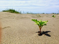 Sandy Greenery (blooming lotus.) Tags: life california blue summer sun plant green beach nature northerncalifornia clouds rural outdoors humboldt sand natural outdoor air sunny norcal arcata humboldtcounty madriverbeach madriver arcataca sandandsun
