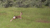 Jumping Bambi (Explore) (Alex Verweij) Tags: alex speed canon jumping young explore 5d bambi rennen awd jong 200mm sprong springen markiii hollen damhert verweij alexverweij
