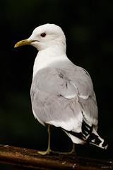 Gull Portrait (zarlock81) Tags: birds scotland seagull mwe lochlomond schottland commongull laruscanus vereinigtesknigreich sturmmwe