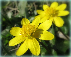 Celandines. (eric robb niven) Tags: flowers canon scotland spring angus lesser g12 celandines