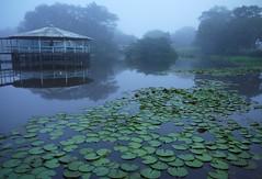 Pará das águas  .  .  . (ericrstoner) Tags: fog day waterlily lilypads pará ninféia nenúfar nymphaeaceae ourém rioguamá pousadavaledoguamá