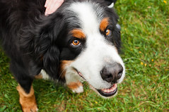 bernese (almostsummersky) Tags: dog pet brown white newyork black smile animal fur nose spring eyes farm ears ithaca bernesemountaindog belcanto