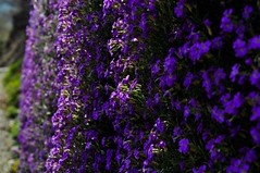 Fly in this blue (MuddySoul) Tags: flowers blue light shadow primavera fly lyrics spring lift violet volare tranquillit