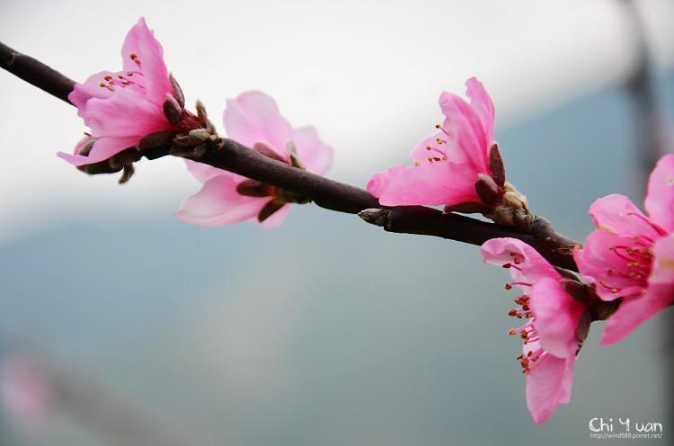 拉拉山水蜜桃花14.jpg