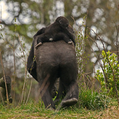 Kambiri & Mayani (Gary Wilson  ) Tags: ireland dublin baby nature animal canon photography eos zoo photo foto gorilla wildlife 7d ape primate phoenixpark dublinzoo 100400l africanplains mayani kambiri garywilson platinumheartaward