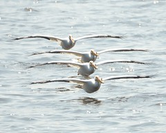American white pelicans flying in formation (cl.lin) Tags: bird pelicans birds river mississippi nikon lock dam 14 birding flight pelican iowa mississippiriver birdsinflight americanwhitepelican leclaire lockanddam14 d7000 ld14