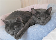 Our girls in the holiday cottage (cats_in_blue) Tags: cats cat kitties russianblue lilit sarantoya