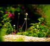 Flower (Nagtheelegant) Tags: flower green leaves rain drops bokeh powershot single tiny dying canonsx20is sx20is