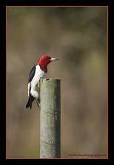 Red-Headed Woodpecker (John Elias Photography) Tags: county light red woodpecker charlotte bokeh good vibrant sharp punta gorda headed johneliasphotography