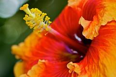 Hot tropical (Deb Jones1) Tags: flowers orange flower macro nature floral beauty canon garden botanical outdoors hibiscus blooms flickrduel flickrawards debjones1