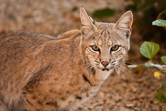 Arizona Bobcat (garrellmillhouse) Tags: arizona usa cats scottsdale florafauna