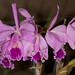 Cattleya warneri - Merle Robboy