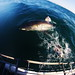 "The great white shark • <a style=""font-size:0.8em;"" href=""http://www.flickr.com/photos/49707099@N00/7177399836/"" target=""_blank"">View on Flickr</a>"