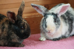 2012-05 (Rabbits) 011 (coopsiep) Tags: 2012 home rabbits tetley typhoo animals