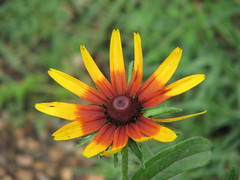 Gloriosa Daisy (AmyWoodward) Tags: flower gloriosadaisy