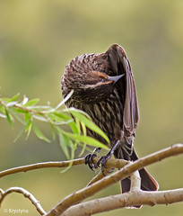 Red-winged Blackbird- female (Krystyna*) Tags: bird nature canon blackbird efs55250 t1i